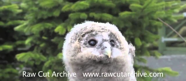 Baby Ural Owl Tomsk look like tea cosy