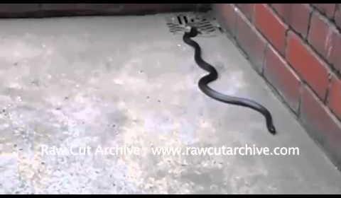 Couple Spot Mexican King Snake in their garden