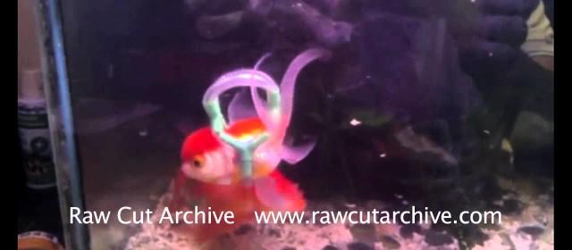 Einstein the goldfish gets floats to help him