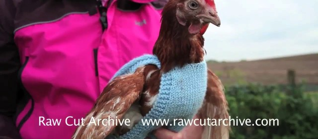 Former battery chickens get knitted jumpers to keep them warm