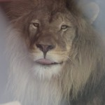 Born Free Foundation: Simba Goes Home to Africa