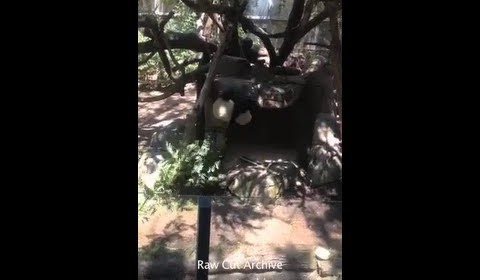 Baby Panda Falls Out of Tree At San Diego Zoo /15G-PD2-001