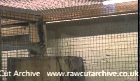 Born Free Foundation – Chipmunk backflipping in cage