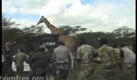 Born Free Foundation – Giraffe Translocation