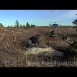 Born Free Foundation – Polar Bear Adoption