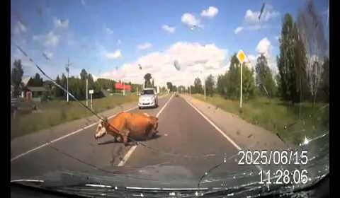 Ulitmate cock block! Dashcam car hits cows having sex!!