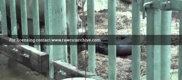 White rhino born in UK /15A-PD101-031