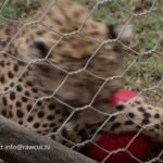Football Playing Cheetahs – Born Free Foundation